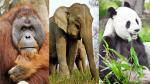 La 'lista roja' de las especies en riesgo - Noticias de tigres de sumatra