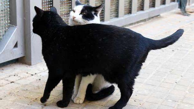 Los felinos suelen defender su territorio a toda costa. Por eso es común ver enfrentamientos. (Internet)